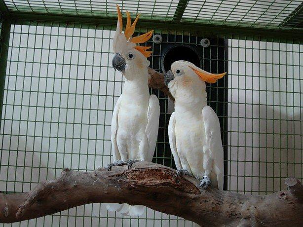 Citron cockatoo - photo#16