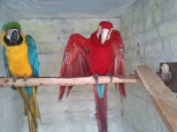 Blue & Gold, Green Wing Macaw