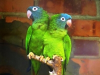 Blue Crowned Conure