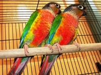 Red-Factor-Yellow-Sided-Conure