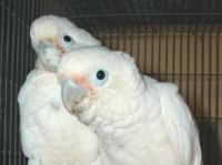 Goffins Cockatoo