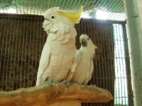 Greater Sulphur & Triton Cockatoo