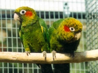 Hoffmanns Conure