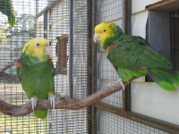 Double Yellow Headed Amazon (Magna)