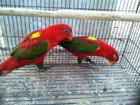 Yellow Backed  Chattering Lory