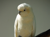 Red Vented Cockatoo