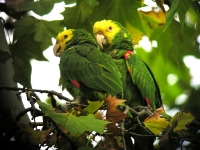 Yellow Headed Amazon